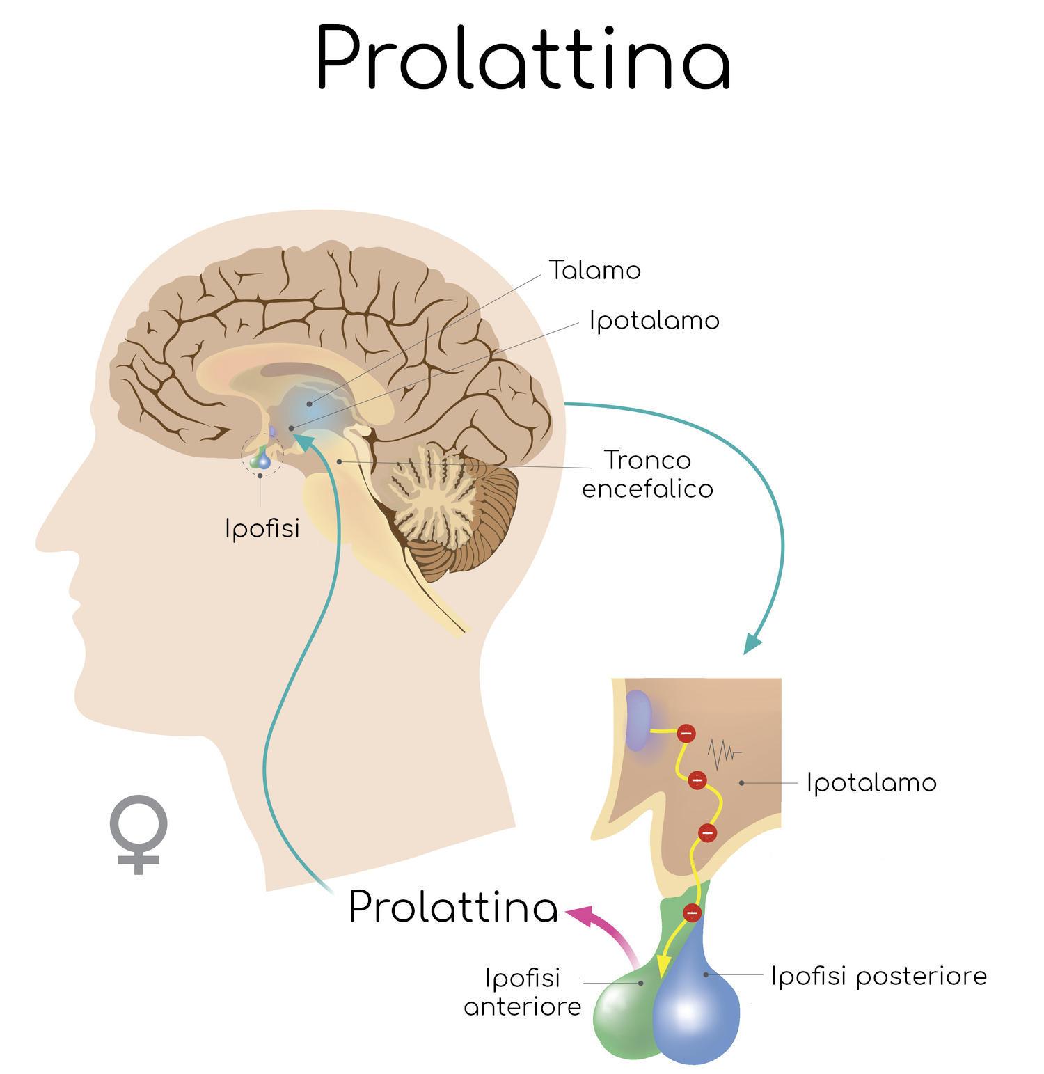 Secrezione della prolattina nella donna
