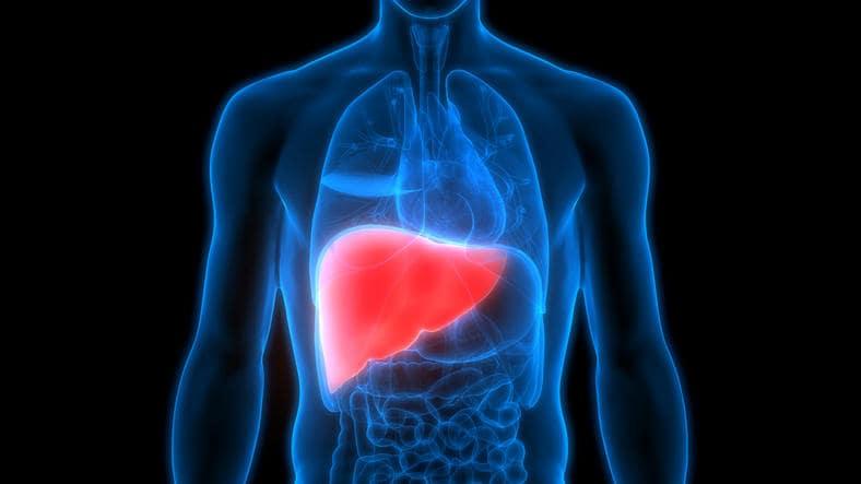 Rappresentazione anatomica della posizione del fegato