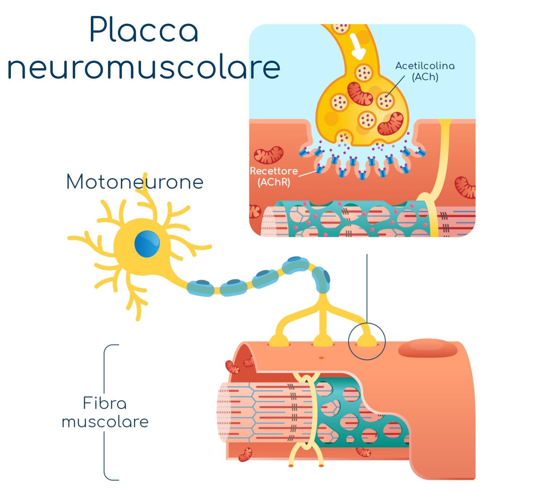 Placca neuromuscolare semplificata