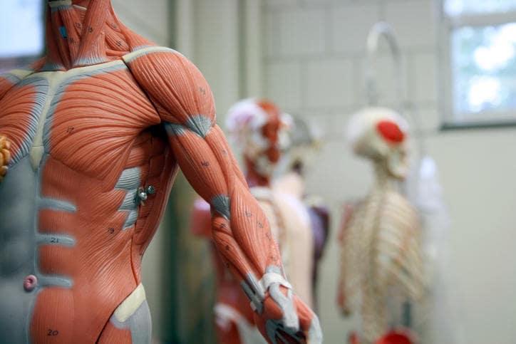 Primo piano di un modello anatomico della muscolatura del busto e del braccio