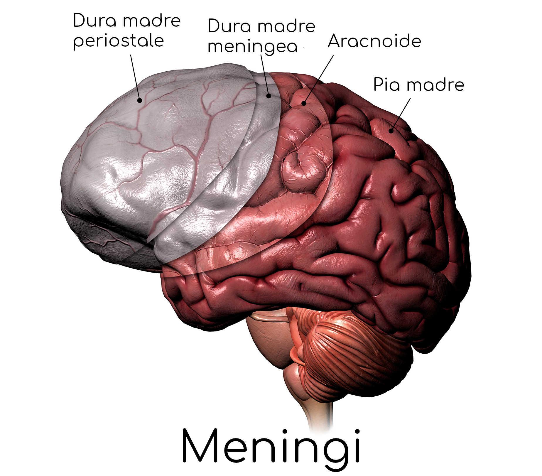Anatomia semplificata delle tre meningi