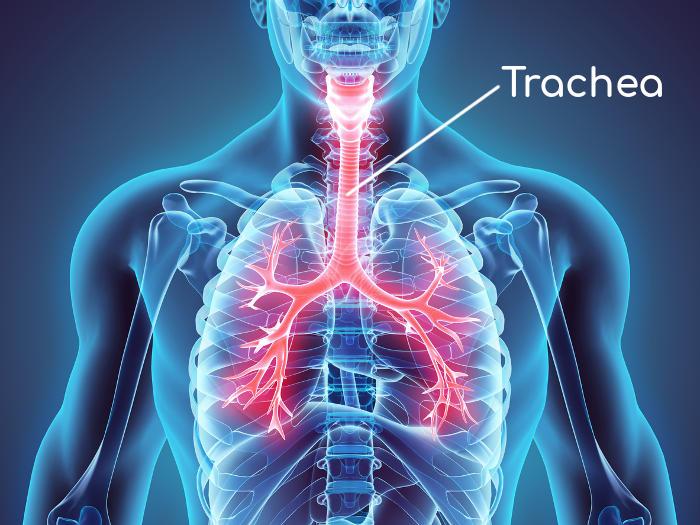 Ricostruzione della posizione anatomica della trachea