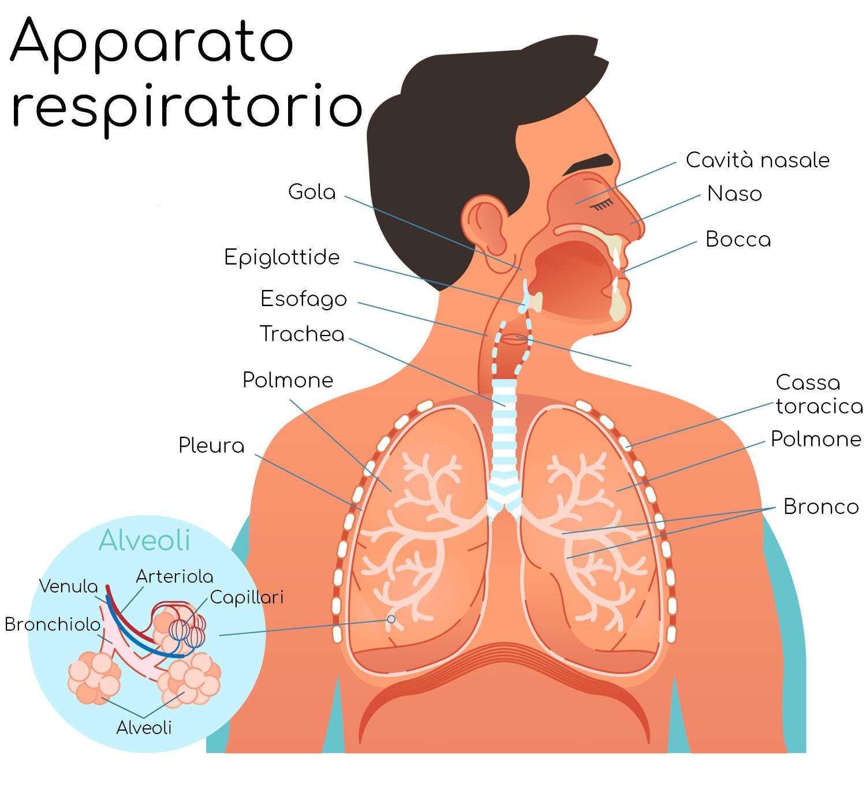 Anatomia semplificata dell'apparato respiratorio