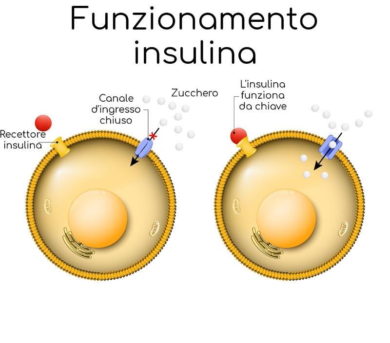 Funzionamento dell'insulina sulle cellule muscolari