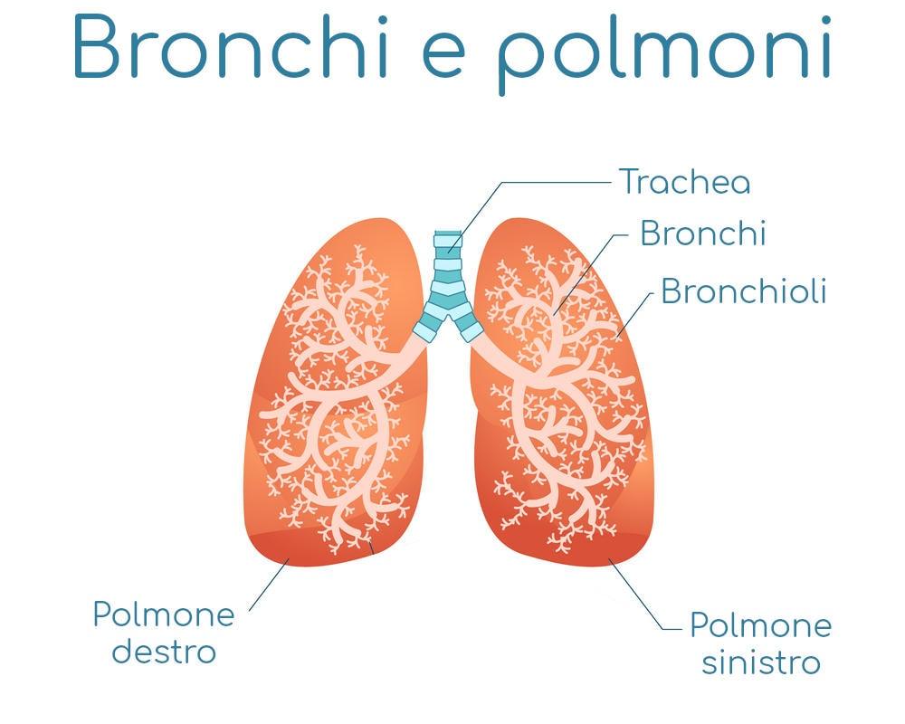 Anatmia semplificata di bronchi e polmoni