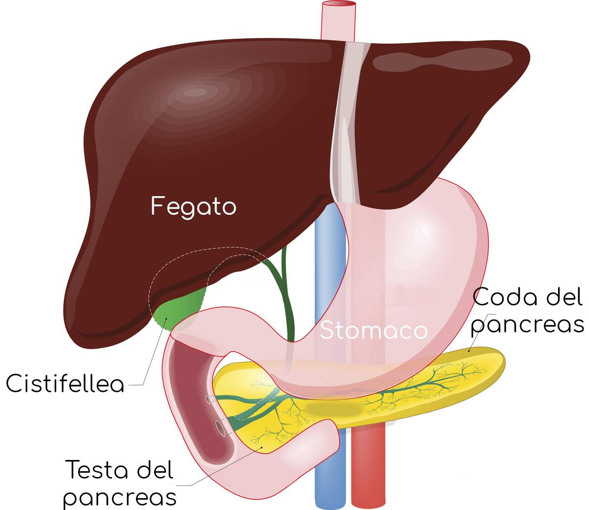 Posizione anatomica di fegato, stomaco, pancreas, cistifellea