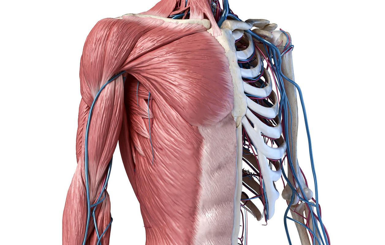 Anatomia della gabbia toracica