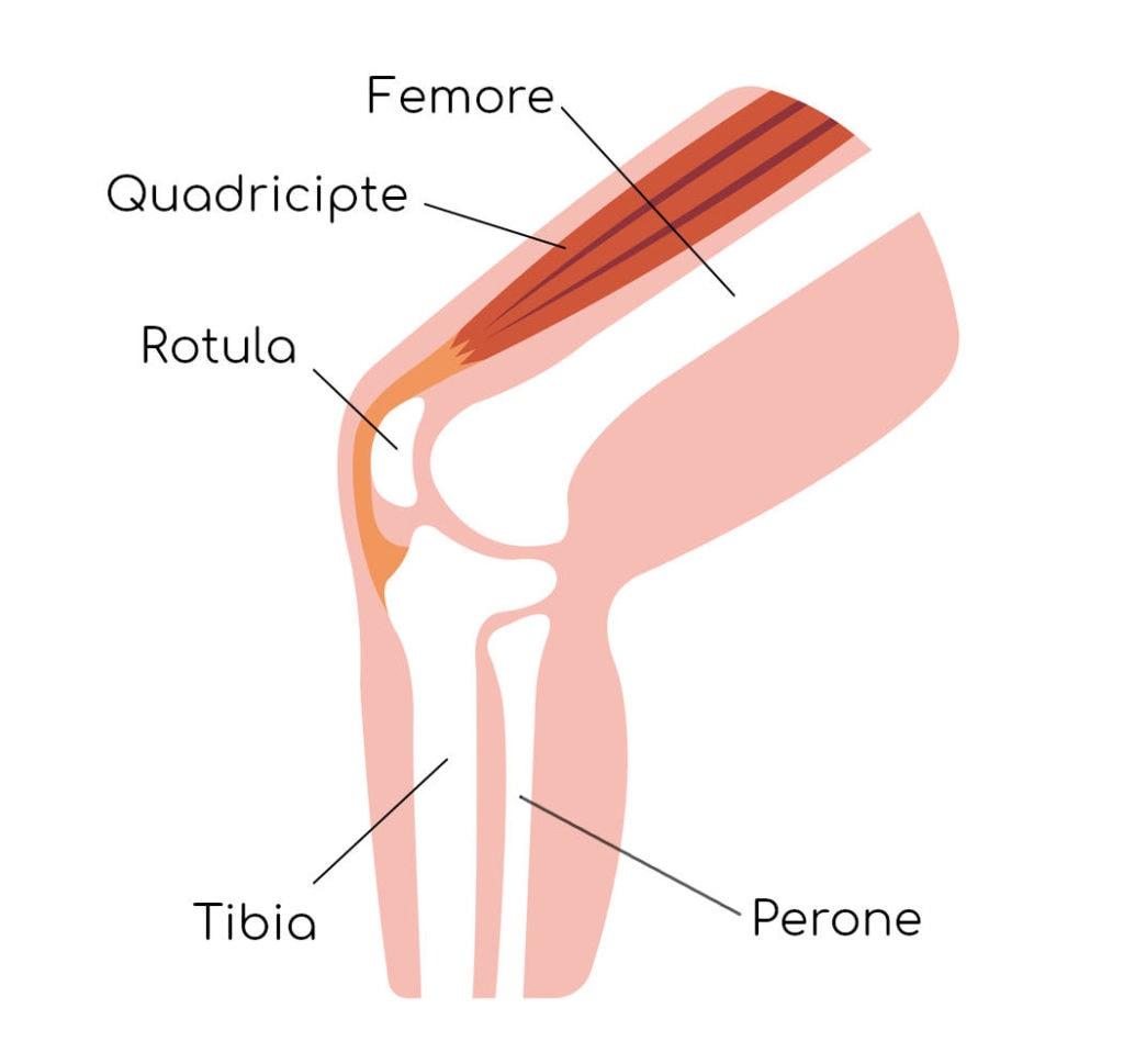 Anatomia essenziale del ginocchio