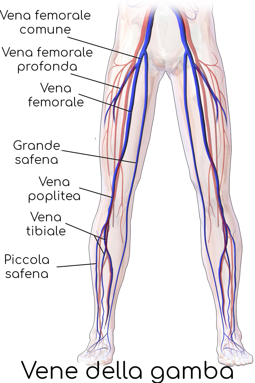 Anatomia semplificata delle vene della gamba