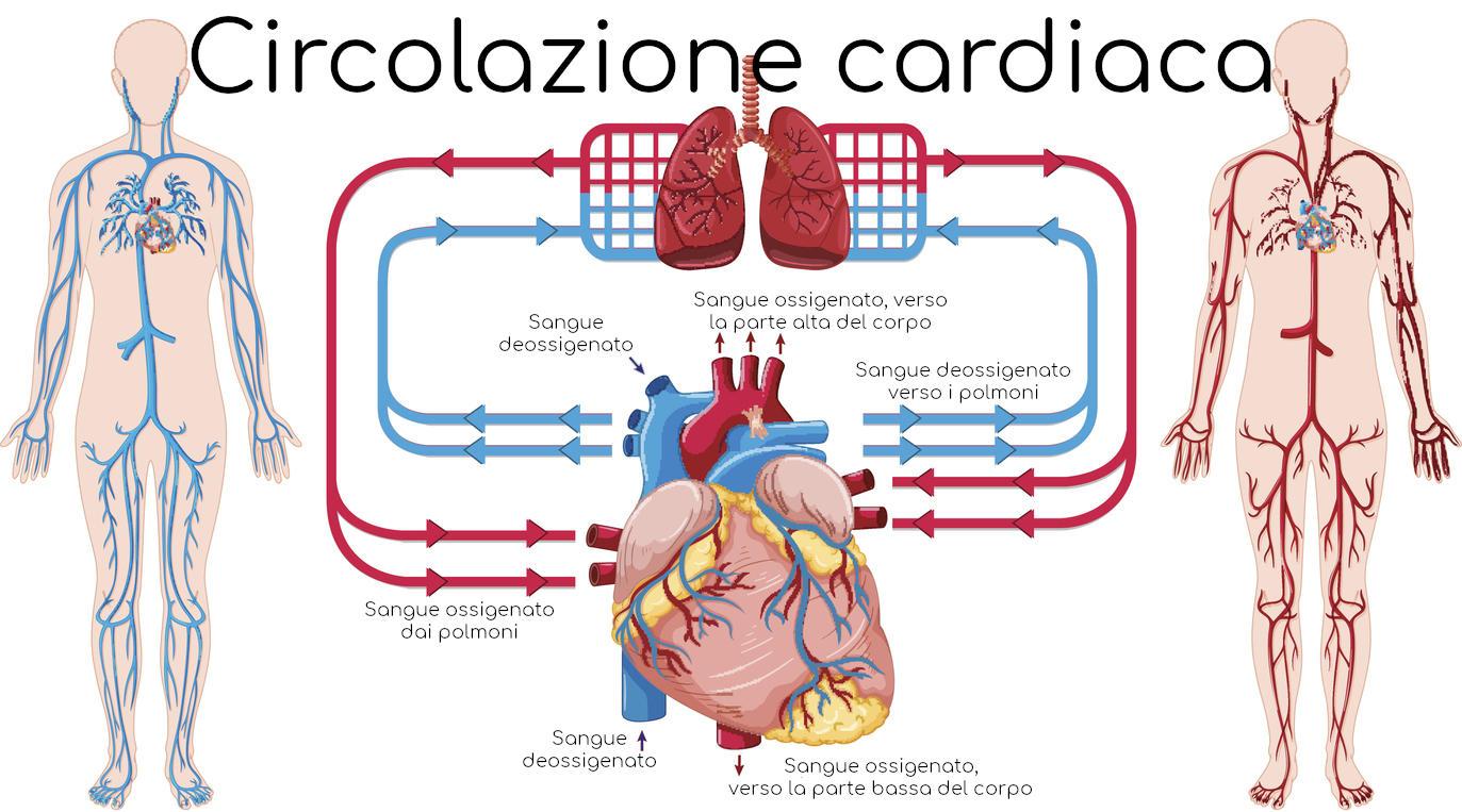 Semplificazione della circolazione cuore-polmoni