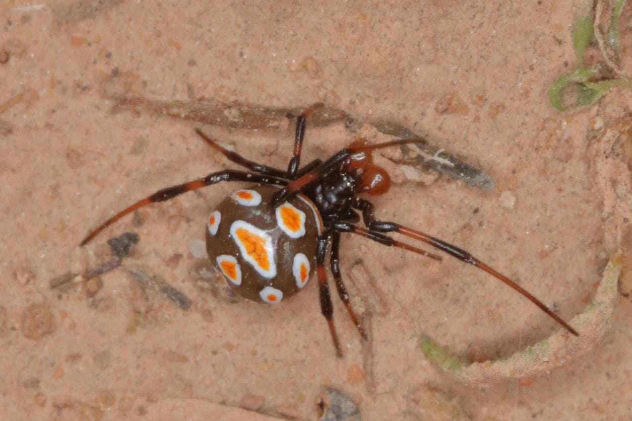 Malmignatta, un pericoloso ragno italiano