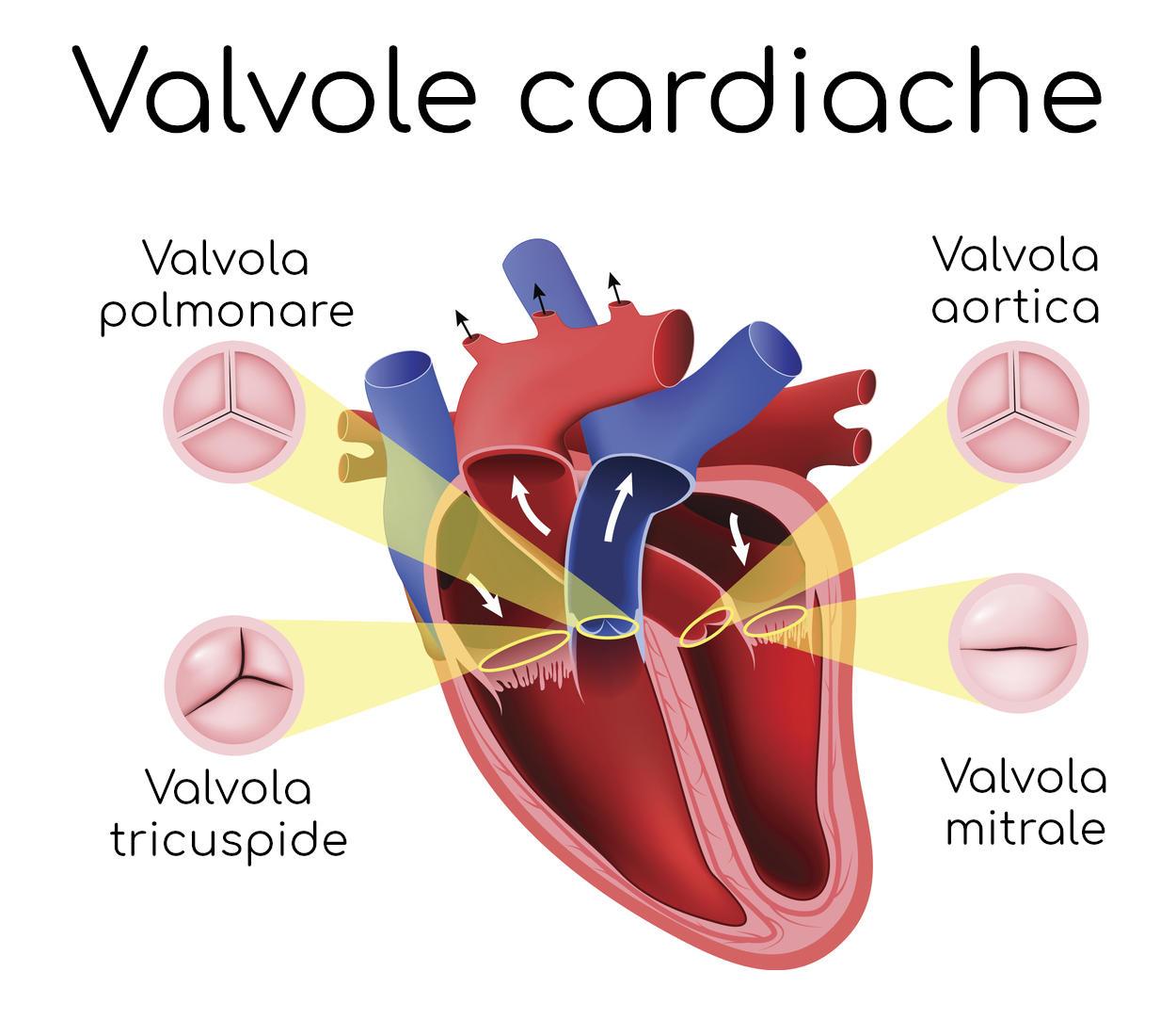 Valvole cardiache (polmonare, tricuspide, mitrale, aortica)