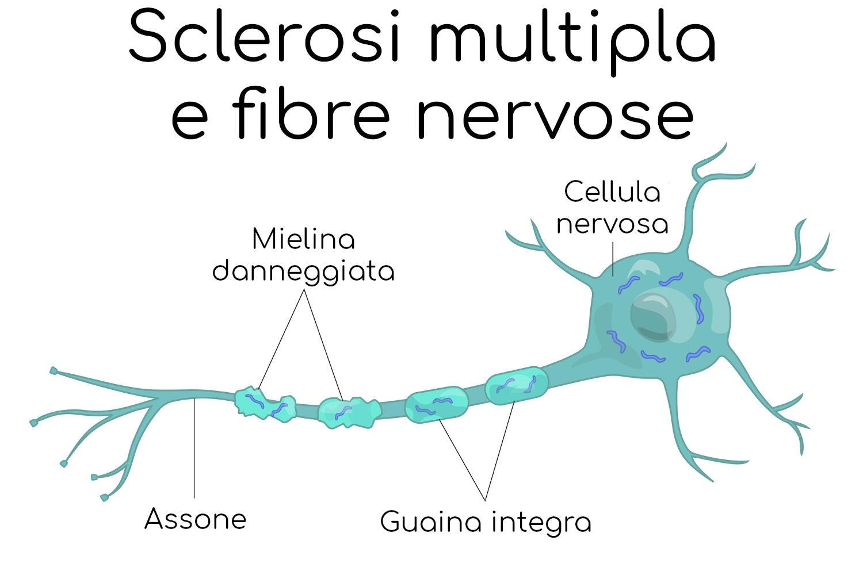 Mielina sulle cellule nervose