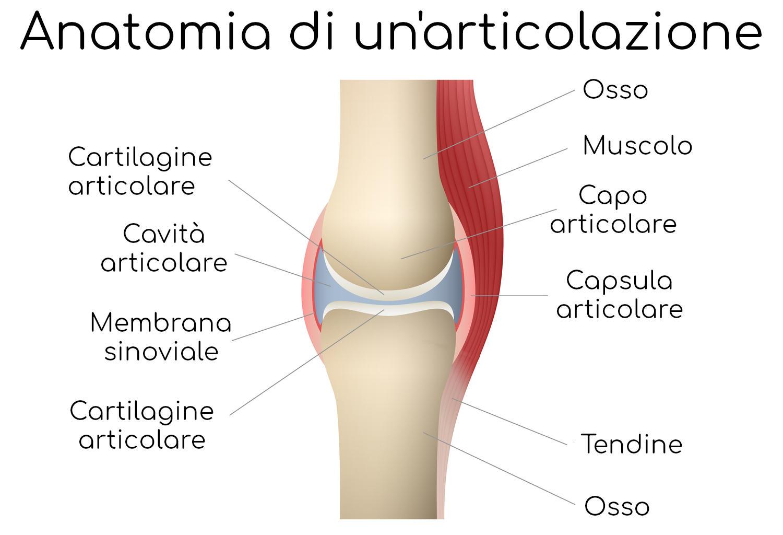Anatomia semplificata di un'articolazione