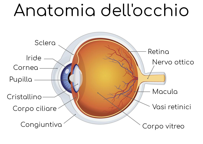 Anatomia semplificata dell'occhio umano