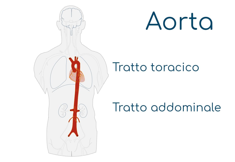 Anatomia semplificata dell'aorta