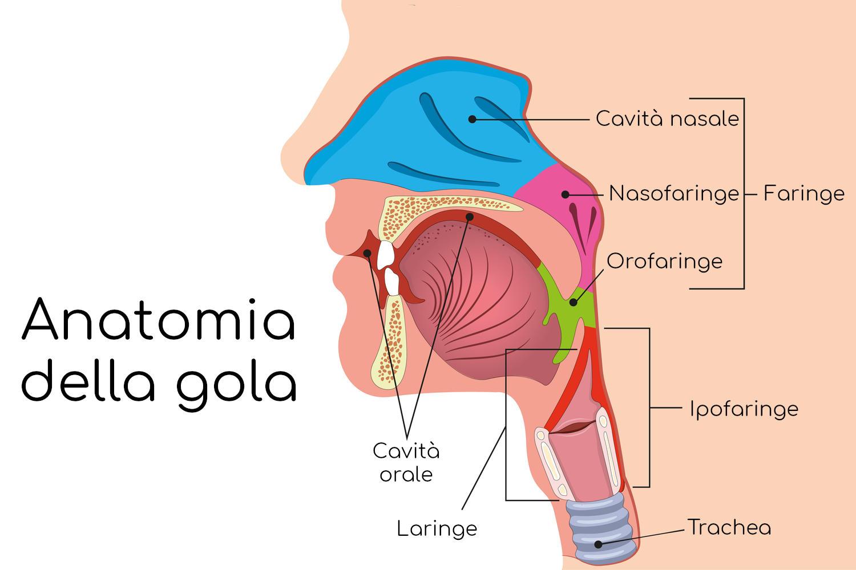 Anatomia semplificata della gola