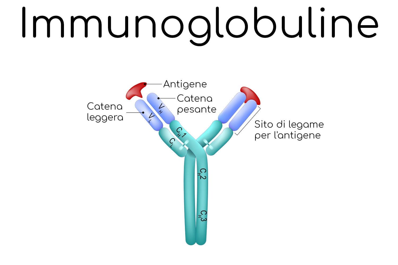 Struttura semplificata di un anticorpo