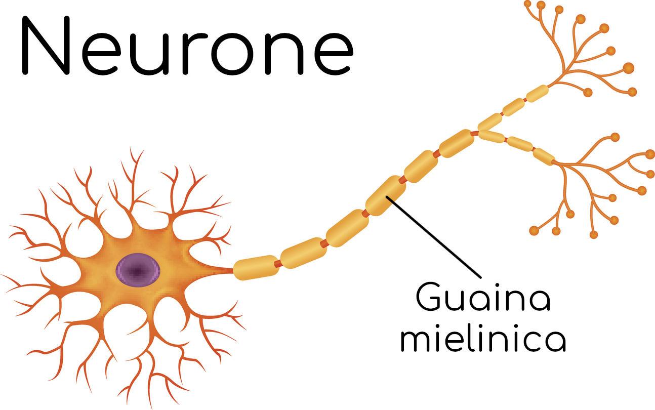 Guaina mielinica che riveste il neurone