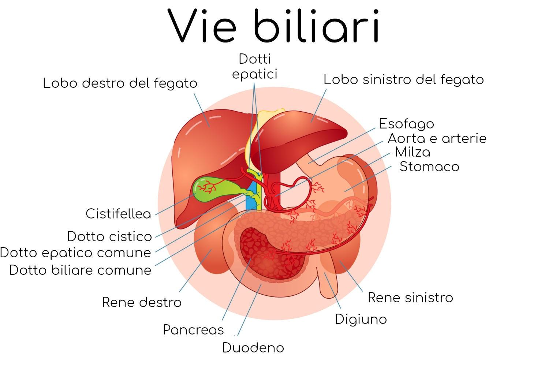 Rappresentazione schematica semplificata delle vie biliari