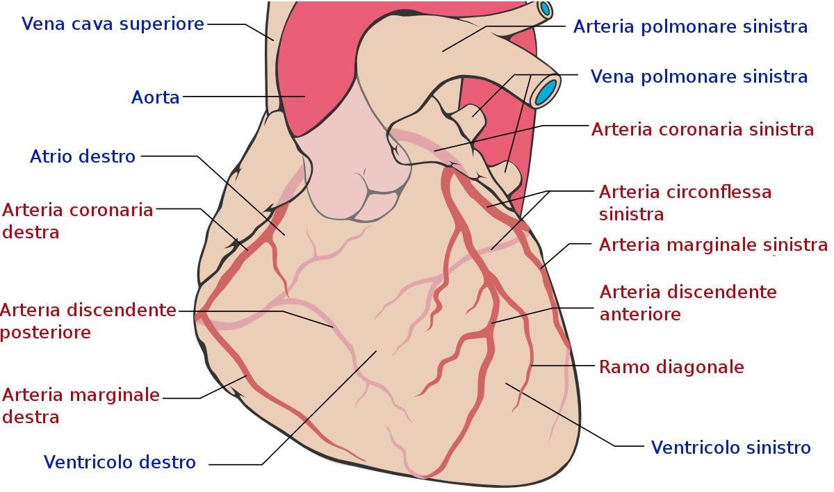 Anatomia delle arterie coronarie