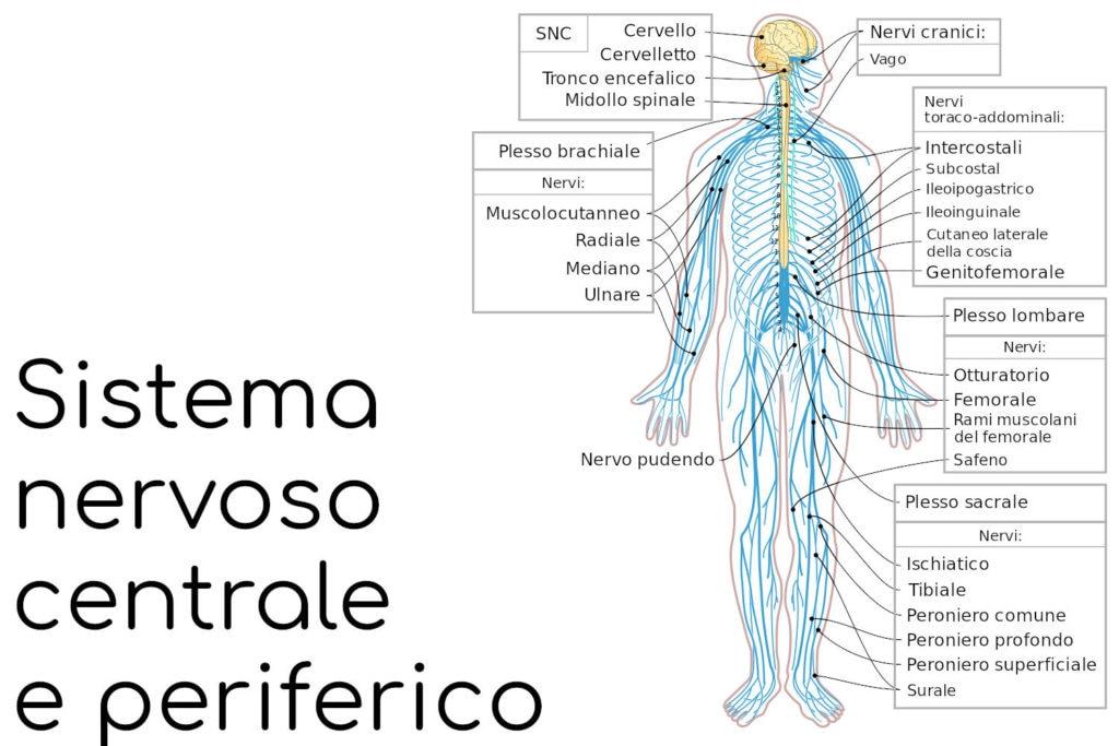 Sistema nervoso centrale e periferico