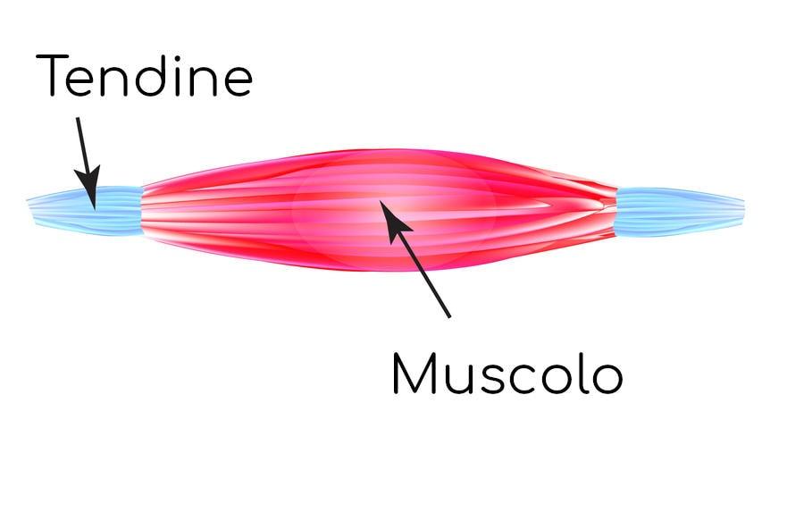 Muscolo e tendine