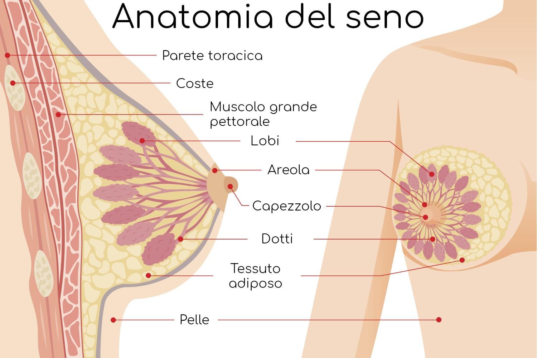 Anatomia semplificata della mammella