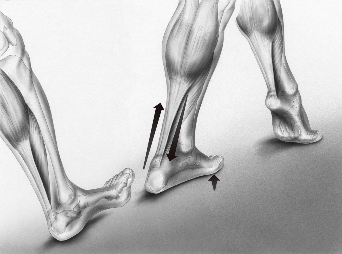 Funzionamento del tendine d'Achille durante la camminata