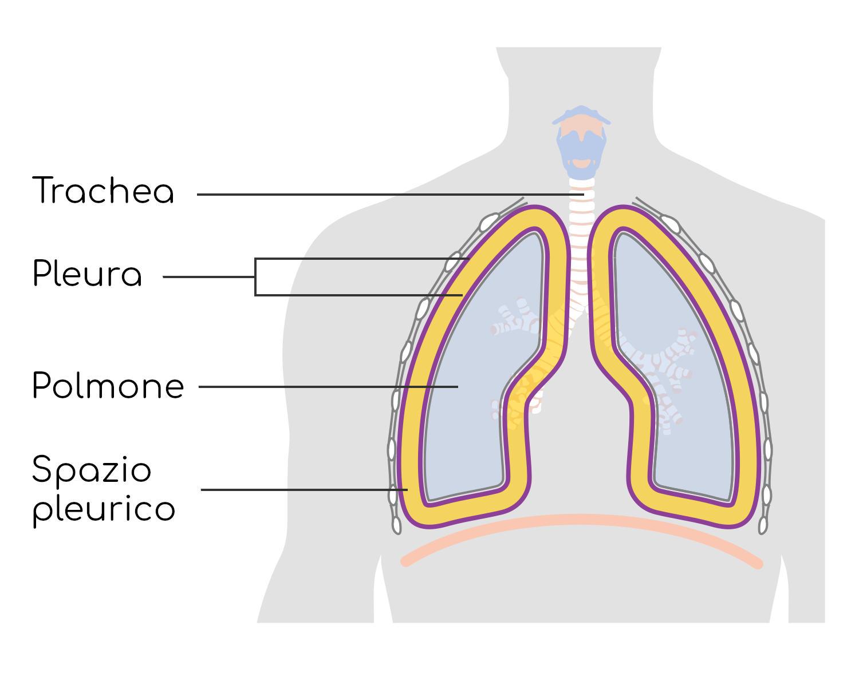 Anatomia dello spazio pleurico ingrandito a scopo esemplificativo