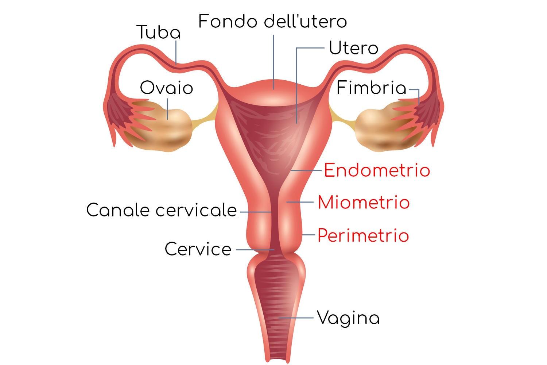 Anatomia dell'utero