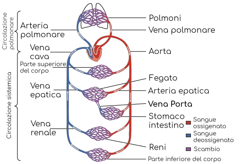 Schema semplificato della circolazione corporea