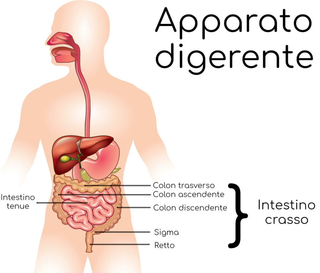 Dettaglio dell'intestino crasso