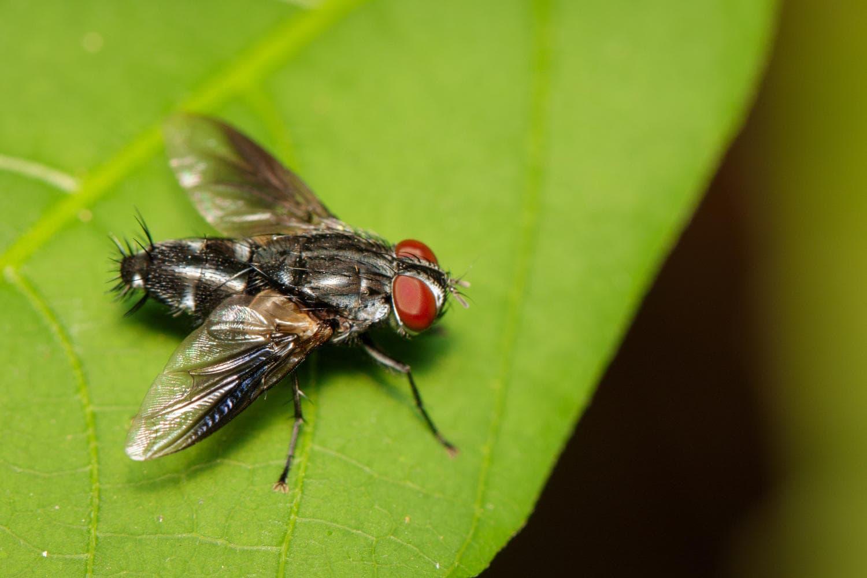Mosche Diptera, uno dei vettori responsabili della diffusione del tracoma