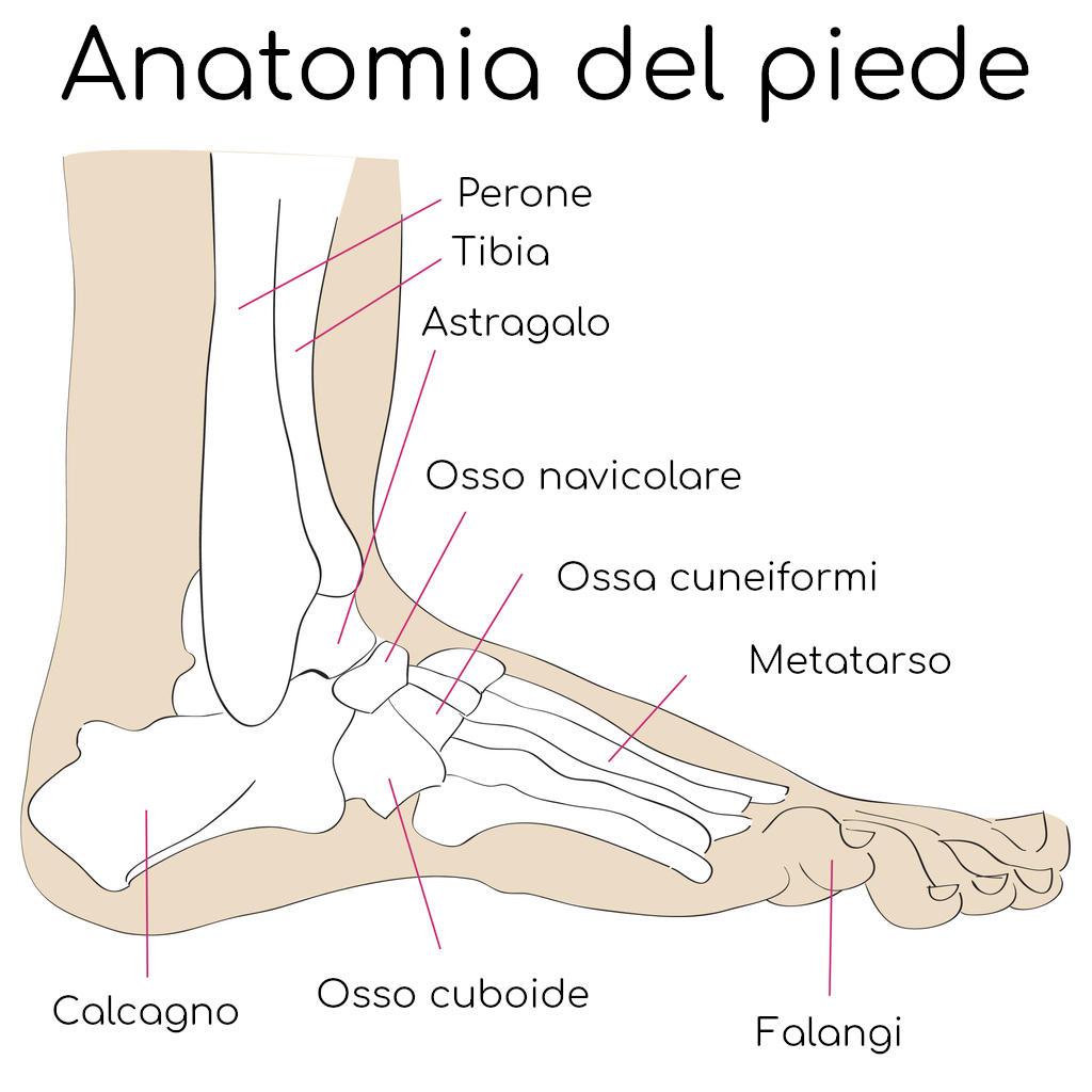 Anatomia semplificata del piede