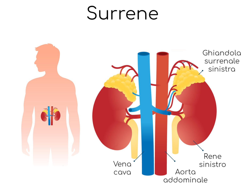 Posizione anatomica del surrene